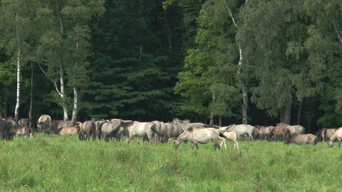 herd of wild living horses Stock Video Footage