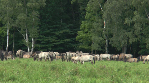 herd of wild living horses Stock Video Footage