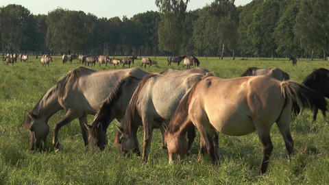 horses grazing synchronously Stock Video Footage