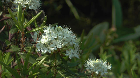 wild rosemary flower (Rhododendron tomentosum) closeup Stock Video Footage