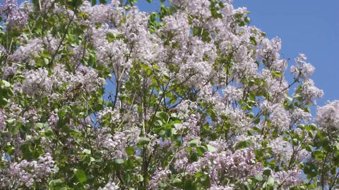 Lilac spring flowering 01 Stock Video Footage