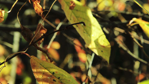 Cherry tree leaves in autumn swaying wind tilt sho Stock Video Footage