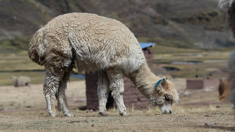 Alpaca with another passing in front Stock Video Footage