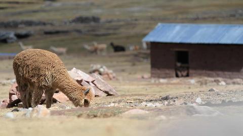 Alpaca grazing with herd in background Stock Video Footage