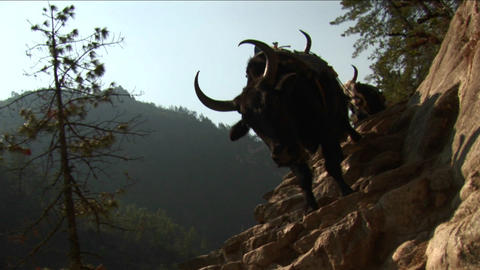 Yaks navigating steps Stock Video Footage