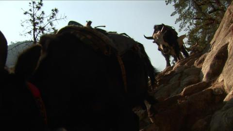 Yaks navigating steps Footage