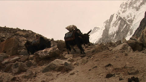 Yaks crossing rough terrain Stock Video Footage