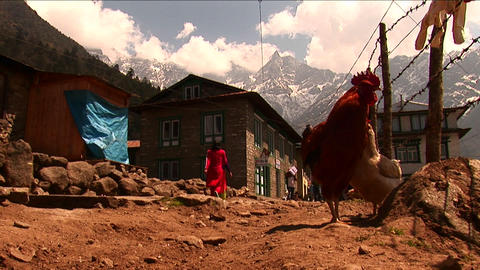 Roosters on trail in village along basecamp trek Footage