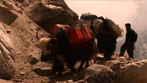 Yaks on trail rounding corner loaded down on Mt. Everest. Stock Video Footage