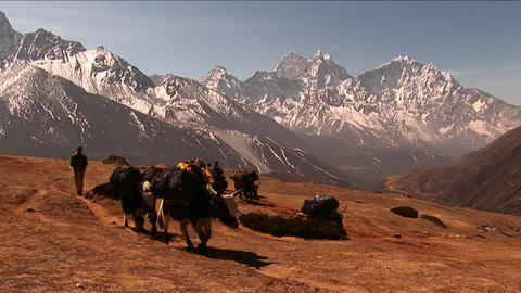 Wide shot of yaks crossing plateau below Mt. Everest. Stock Video Footage