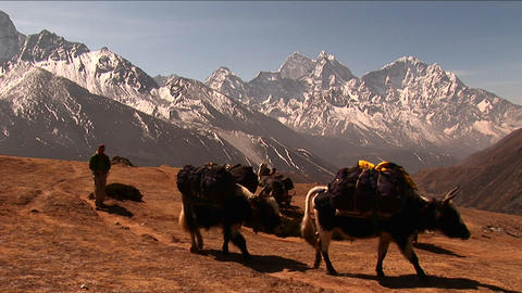 Wide shot of yaks crossing plateau below Mt. Everest. Footage