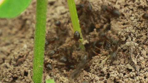 Ants 1 Stock Video Footage