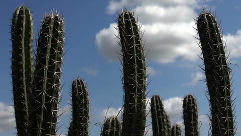 Cactus Timelapse 04 Stock Video Footage