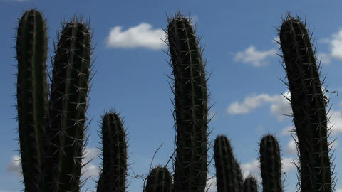 Cactus Timelapse 04 Stock Video Footage