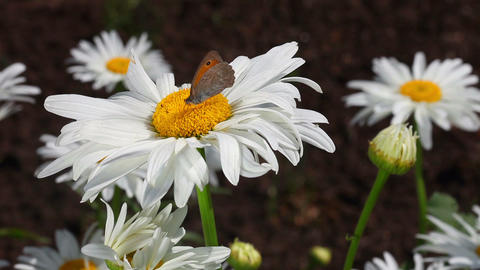 Butterfly on the flower Footage