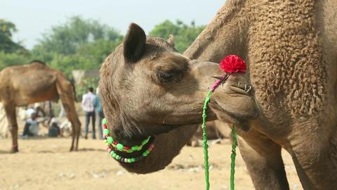 Pushkar Camel fair Stock Video Footage