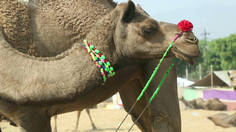 Pushkar Camel fair Stock Video Footage