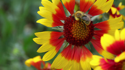 Bee at work Stock Video Footage