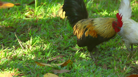 Rooster and a hen Stock Video Footage