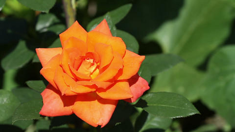 orange rose close-up Stock Video Footage
