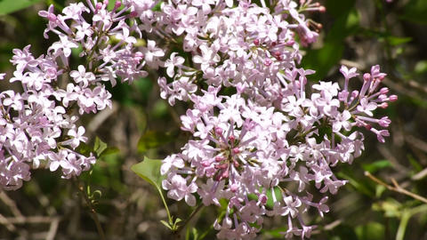 Lilac flowering 04 Stock Video Footage