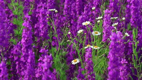 Field Of Globe Flowers On A Summer Meadow Stock Video Footage