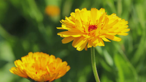 Calendula flowers close-up Stock Video Footage