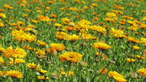 Calendula flowers in the park Stock Video Footage