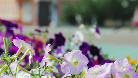Petunia flowers and walking people in city park Footage