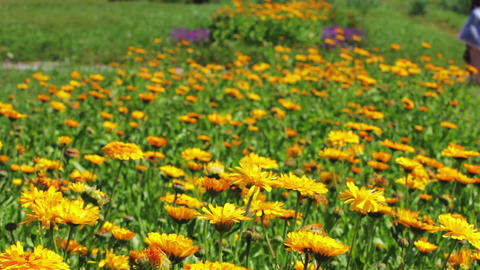 Calendula flowers and walking people in city park Stock Video Footage