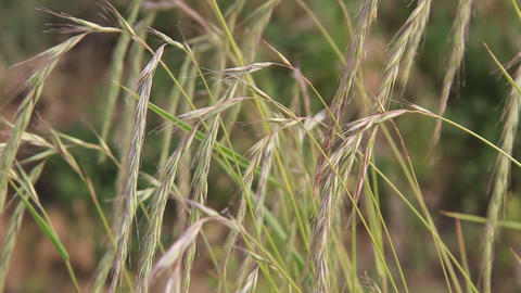 Spikes of wheatgrass swaying in the wind Footage