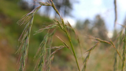Spikes of wheatgrass swaying in the wind Stock Video Footage