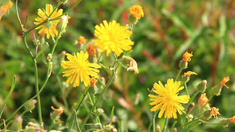 Dandelion flower and a caterpillar on it Stock Video Footage