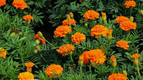 Woman's palm strokes the marigold flowers Stock Video Footage
