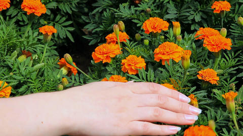 Woman's palm strokes the marigold flowers Footage