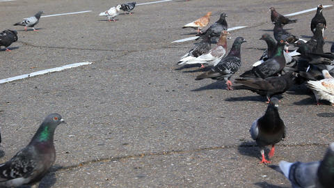 Pigeons feed on the sidewalk Footage