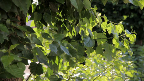 Green leaves of poplar swaying in the wind Footage