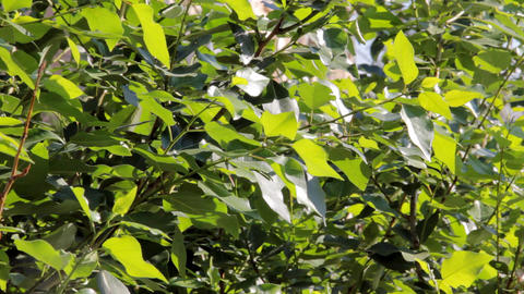 Green leaves of poplar swaying in the wind Stock Video Footage