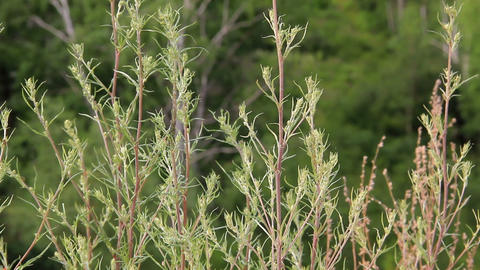 Stems and leaves of Artemisia swaying in the wind Stock Video Footage