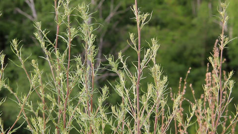 Stems and leaves of Artemisia swaying in the wind Footage