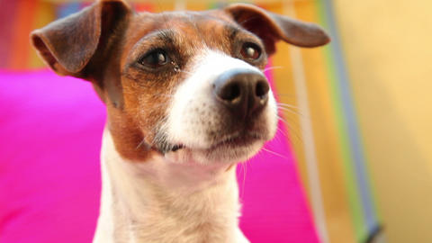 Jack russell terrier dog looking around, close up Stock Video Footage