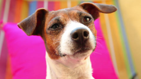 Jack Russell Terrier Dog Looking Around, Close Up stock footage