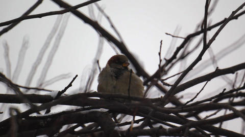 Sparrow sitting on a tree branch during winter sno Stock Video Footage