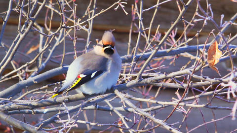 Bohemian waxwing (Bombycilla garrulus) - songbird Stock Video Footage