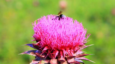 Closeup macro of bumblebee pollinating thistle flo Stock Video Footage