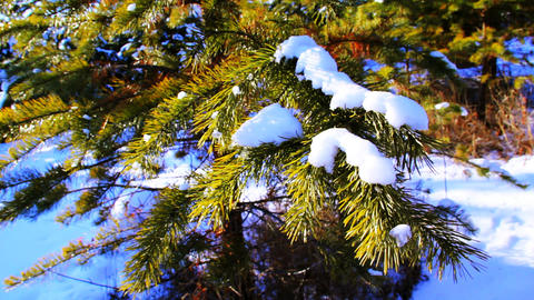 Motion shot of pine tree in the winter snowy fores Stock Video Footage