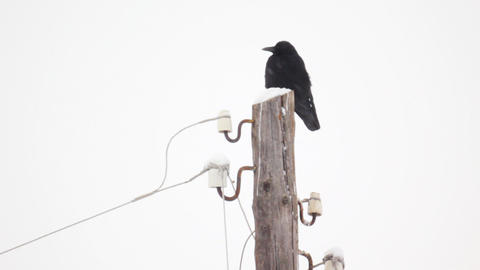 Raven Sitting On A Snow-covered Wooden Pole During stock footage
