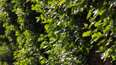 Green leaves of poplar tree swaying in the wind Footage