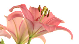 Pink lilies Stock Video Footage