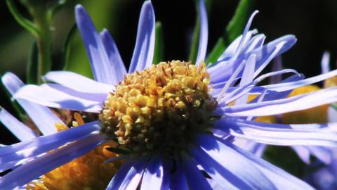 Blue chamomile flowers Footage